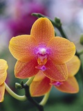 Orange and Yellow Orchid Fotografiskt tryck av Darrell Gulin