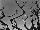 Twisting Tree Branches Photographic Print by Brett Weston