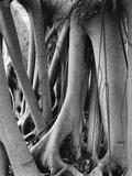 Raices y troncos Lámina fotográfica por Brett Weston