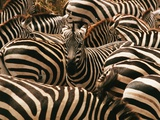 Herd of Zebras Photographic Print by John Conrad