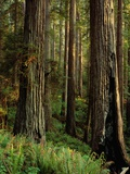 Redwood Trees Photographic Print by Charles Mauzy