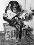 Chimpanzee Reading Newspaper Lmina fotogrfica por Bettmann