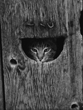 Cat Peeking Out from Barn Photographic Print by Josef Scaylea