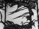 Ivy Growing on a Cement Wall Photographic Print by Brett Weston
