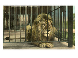 Lion, Swope Park Zoo, Kansas City, Missouri Poster