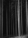 Pine Forest, Germany, 1971 Photographic Print by Brett Weston
