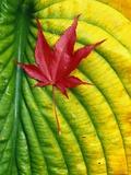 Japanese Maple Leaf on a Hosta Leaf Photographic Print by Darrell Gulin