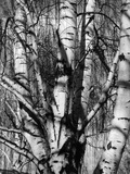 Aspens, 1972 Photographic Print by Brett Weston