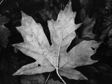 Maple Leaf Photographic Print by Brett Weston