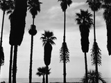 Palm Trees in Silhouette, California, 1958 Lámina fotográfica por Brett Weston
