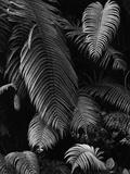 Fern Leaves Photographic Print by Brett Weston