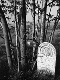 Trees and Gravestone by Brett Weston Photographic Print by Brett Weston