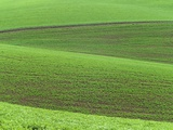 Pea Fields Photographic Print by Darrell Gulin