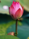 Lotus Flower Photographic Print by Keren Su