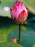 Lotus Flower Photographic Print by Keren Su
