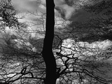 Tree Silhouette Photographic Print by Brett Weston