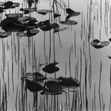 Reeds amd Lily Pads, Alaska, 1973 Photographic Print by Brett Weston