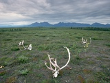 Caribou Skulls Left by Hunters Photographic Print by Tom Bean