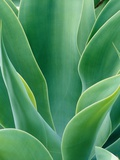 Agave Plant Photographic Print by Darrell Gulin