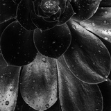 Droplets on a Succulent Plant Photographic Print by Brett Weston