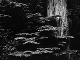 Redwood Tree, California, 1964 Fotografie-Druck von Brett Weston