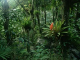 Bromeliads in a Puerto Rican Rainforest Photographic Print by Tom Bean
