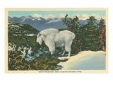 Rocky Mountain Goat, Glacier Park, Montana Plakater