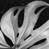 Leaf, Hilo, 1979 Reproduction photographique par Brett Weston