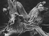 Driftwood Stump by Brett Weston Fotografie-Druck von Brett Weston