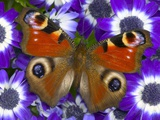 Butterfly on Purple Daisies Photographic Print by Darrell Gulin