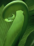 Young Fern Frond Uncurls Photographic Print by Susan Bishop