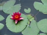 Blooming Water Lily at Heian Shrine Photographic Print by Wolfgang Kaehler