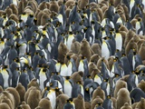 King Penguin Colony on South Georgia Island Photographic Print by Darrell Gulin
