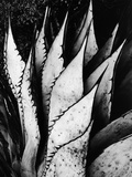 Agave Leaves Photographic Print by Brett Weston