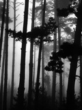 Pines in Fog, 1962 Photographic Print by Brett Weston