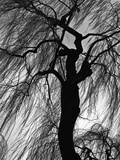 Weeping Willow, Oregon, 1975 Photographic Print by Brett Weston