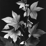 Leaves by Brett Weston Photographic Print by Brett Weston