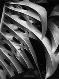 Leaf Composition Photographic Print by Brett Weston