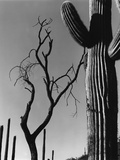 Cactus and Tree Photographic Print by Brett Weston