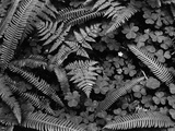 Ferns and Clover Photographic Print by Brett Weston