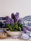 Purple Hyacinth Potted in a Ceramic Bowl Photographic Print by Di Lewis