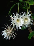 Epiphyllum oxypetalum Photographic Print by Peter Smithers
