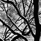 Snow Covered Tree Branches Photographic Print by Brett Weston