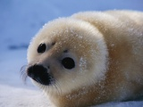 Harp Seal Pup Photographic Print by John Conrad