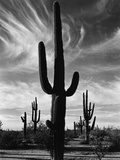 Saguaros, Arizona Photographic Print by Brett Weston