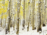 Aspen Grove in Winter Fotografie-Druck von Darrell Gulin
