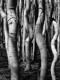 Trees, 1972 Photographic Print by Brett Weston