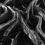 Banyan Tree Roots Photographic Print by Brett Weston
