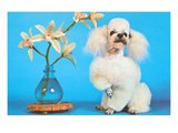 Poodle with Orchids, Retro Posters