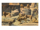 Lions in Zoo, Detroit, Michigan Prints